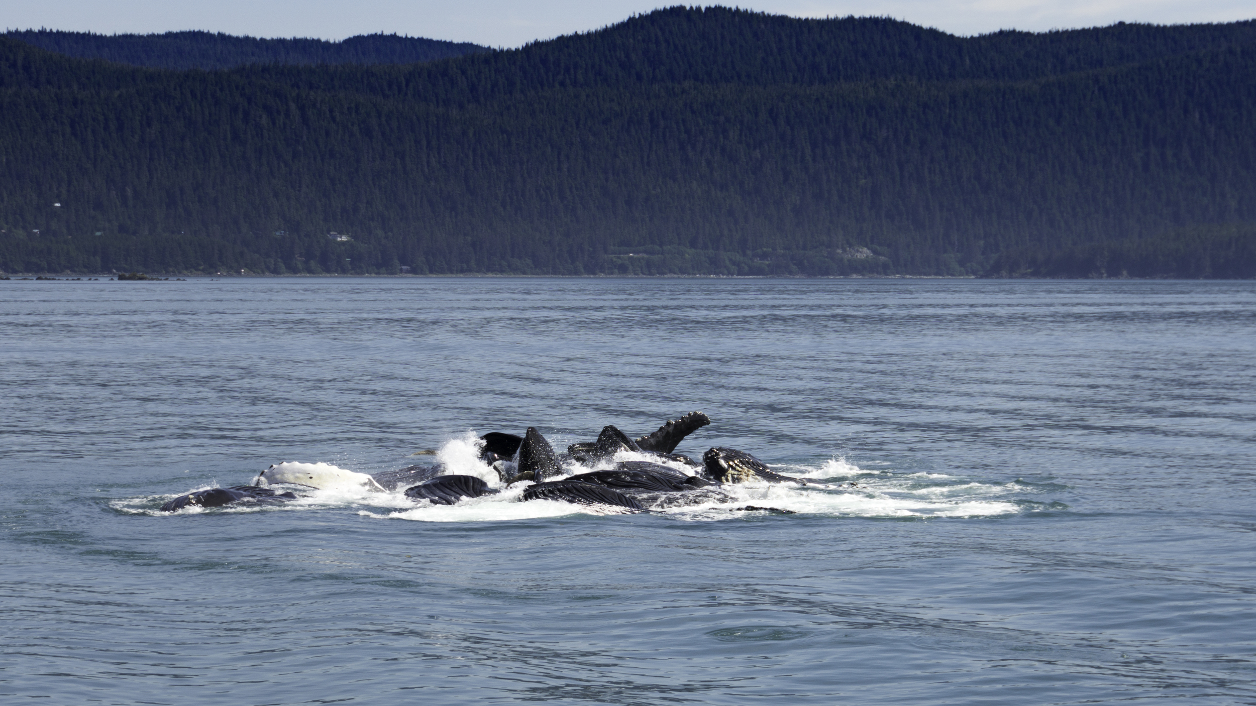 These Humpback whales are bubble net feeding. #humpback #whales #alaska