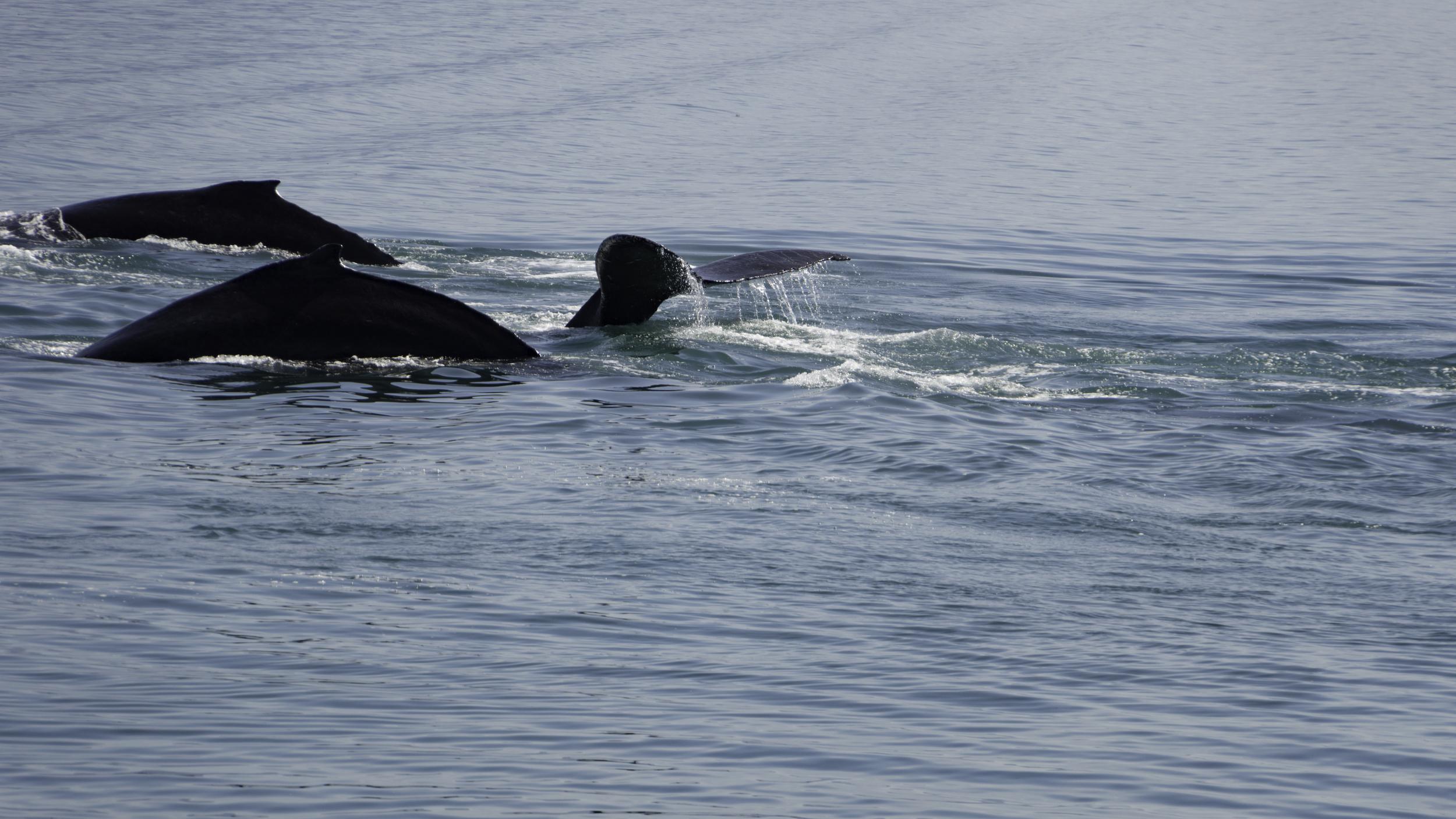 #humpback #whales #alaska