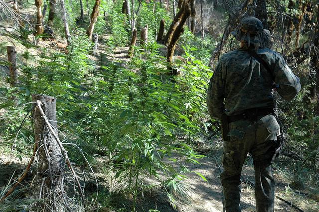 A law enforcement officer surveys an illegal marijuana grow.