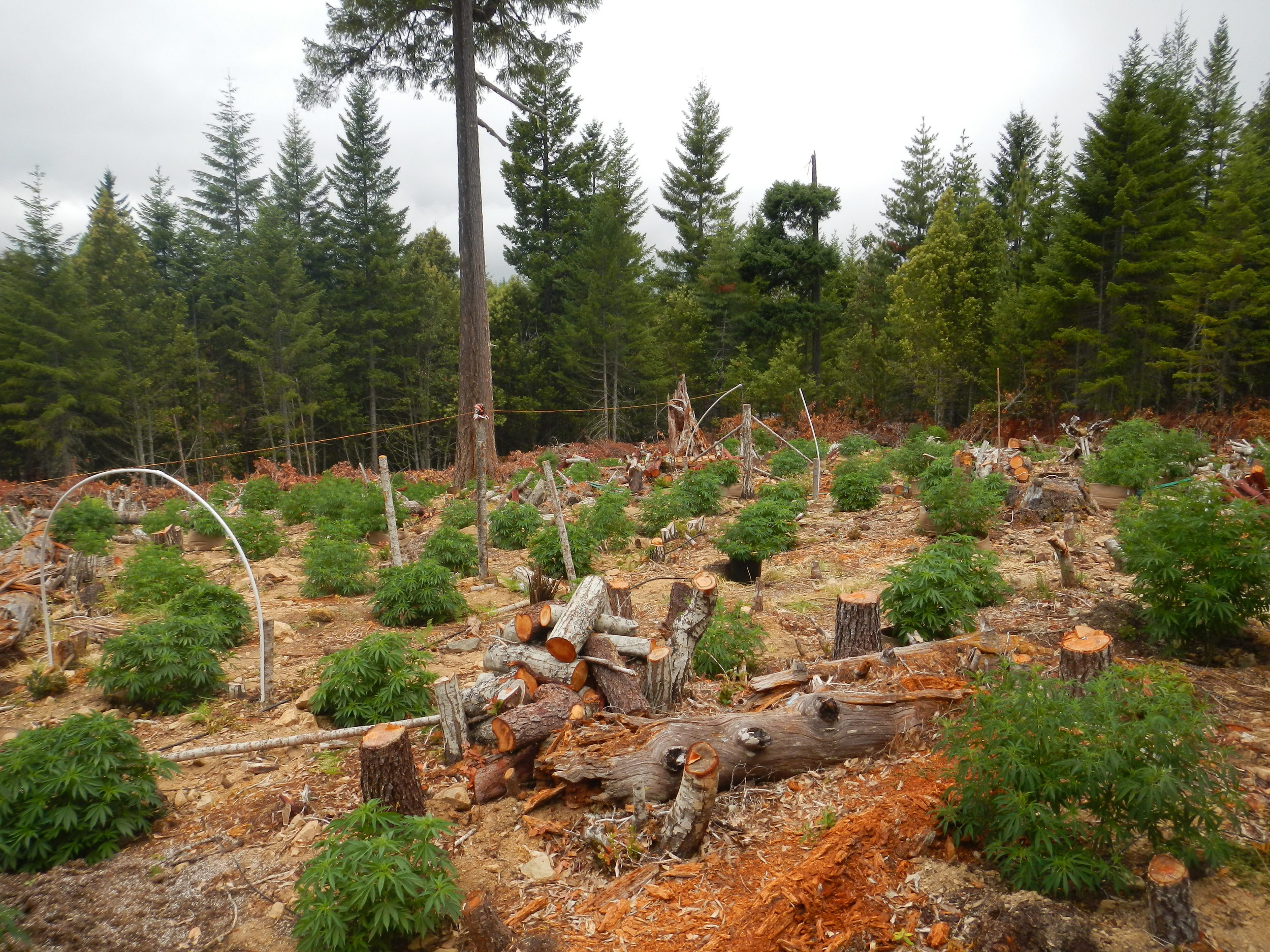 Similar grow operations can be found in California. This one is located in Humboldt County.