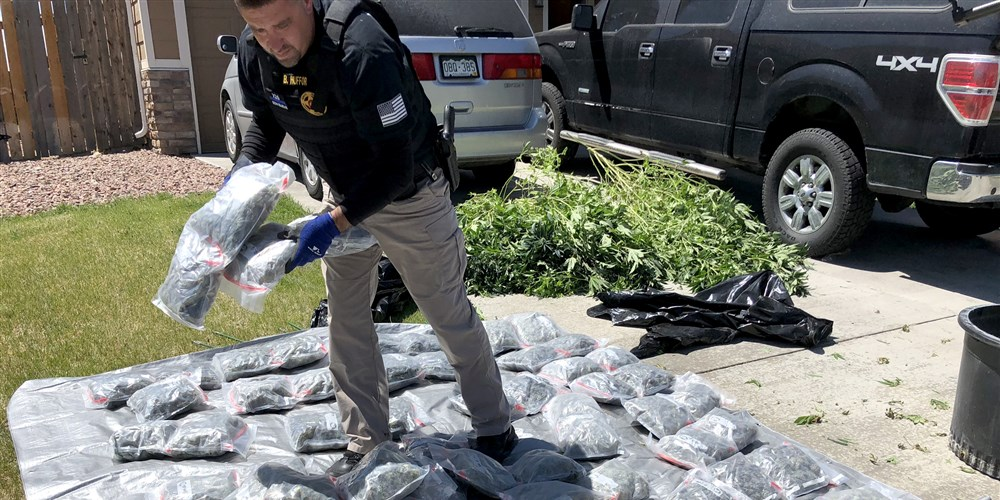An El Paso County sheriff's deputy processes bags of distribution-ready marijuana seized from an illegal grow house in Colorado Springs, Colorado on May 15, 2018.