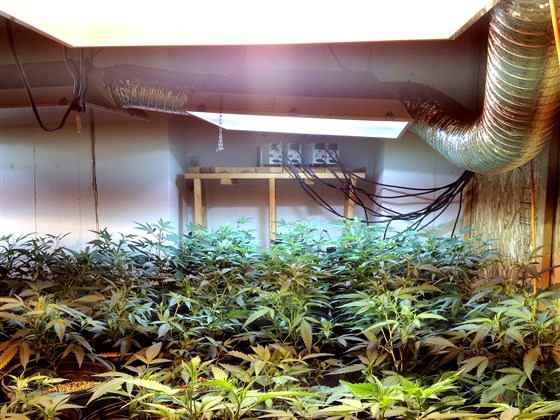 Marijuana plants found during a Drug Enforcement Administration raid in an illegal pot grow home in Colorado.
