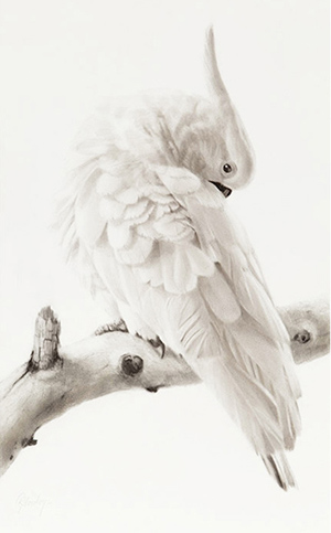 Gordon Hanley Cockatoo Preening.jpg