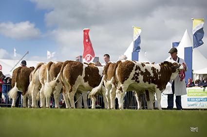 Inter Heifer Line up.jpg
