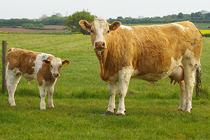 sapphire and calf.jpg