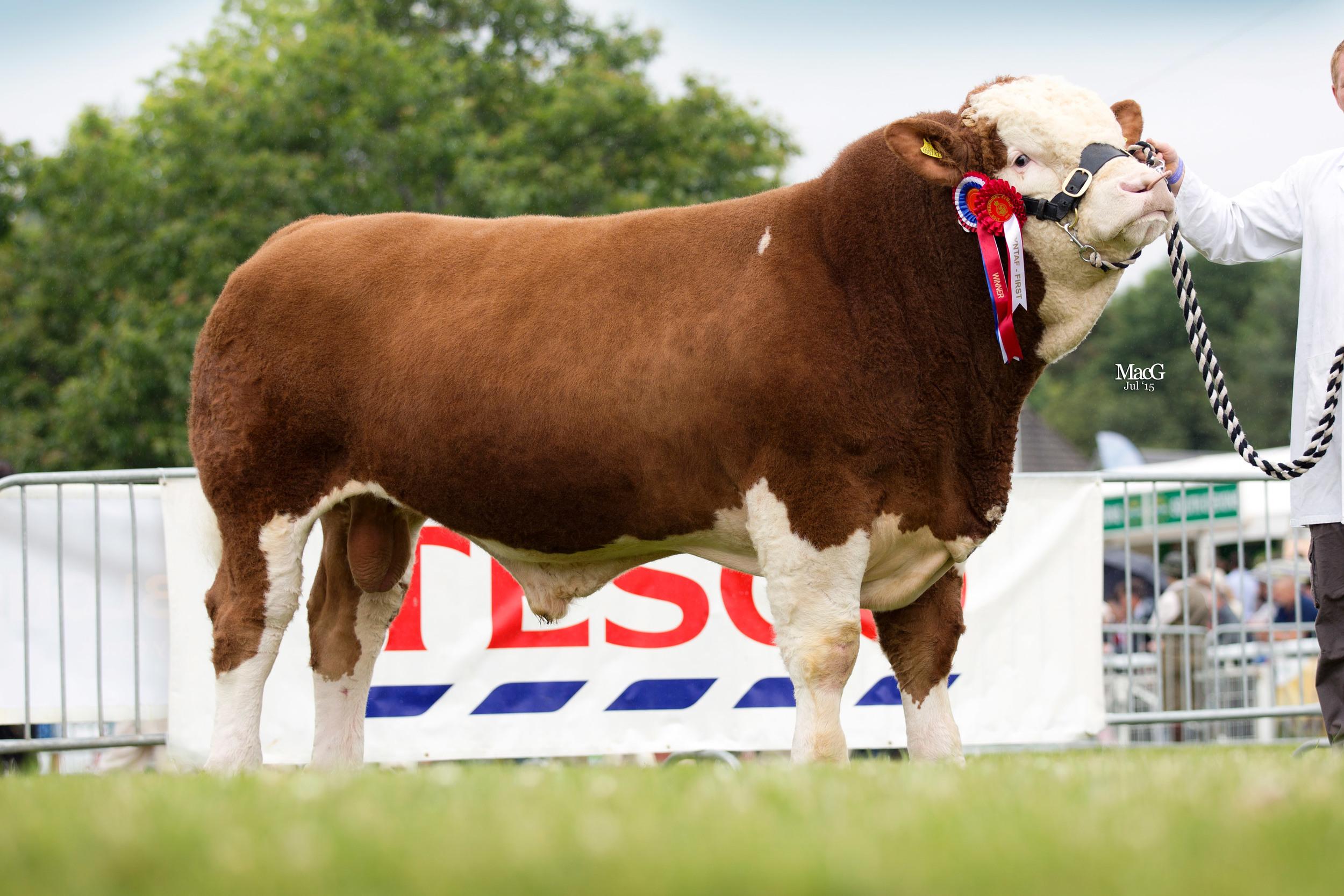 Llwynmelyn Euan 13 - Bull, born on or before 31.12.13