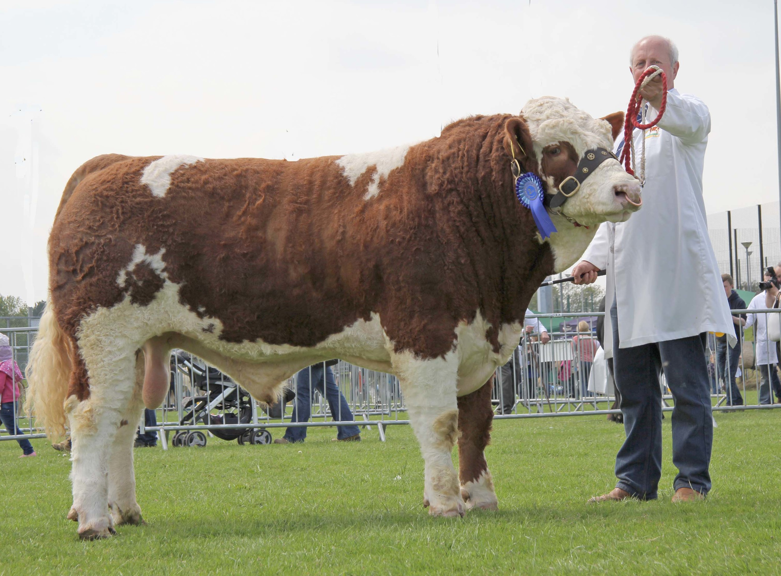 Nigel Glasgow's Bridgewater Farm Gilroy won the reserve male championship at Ballymena Show