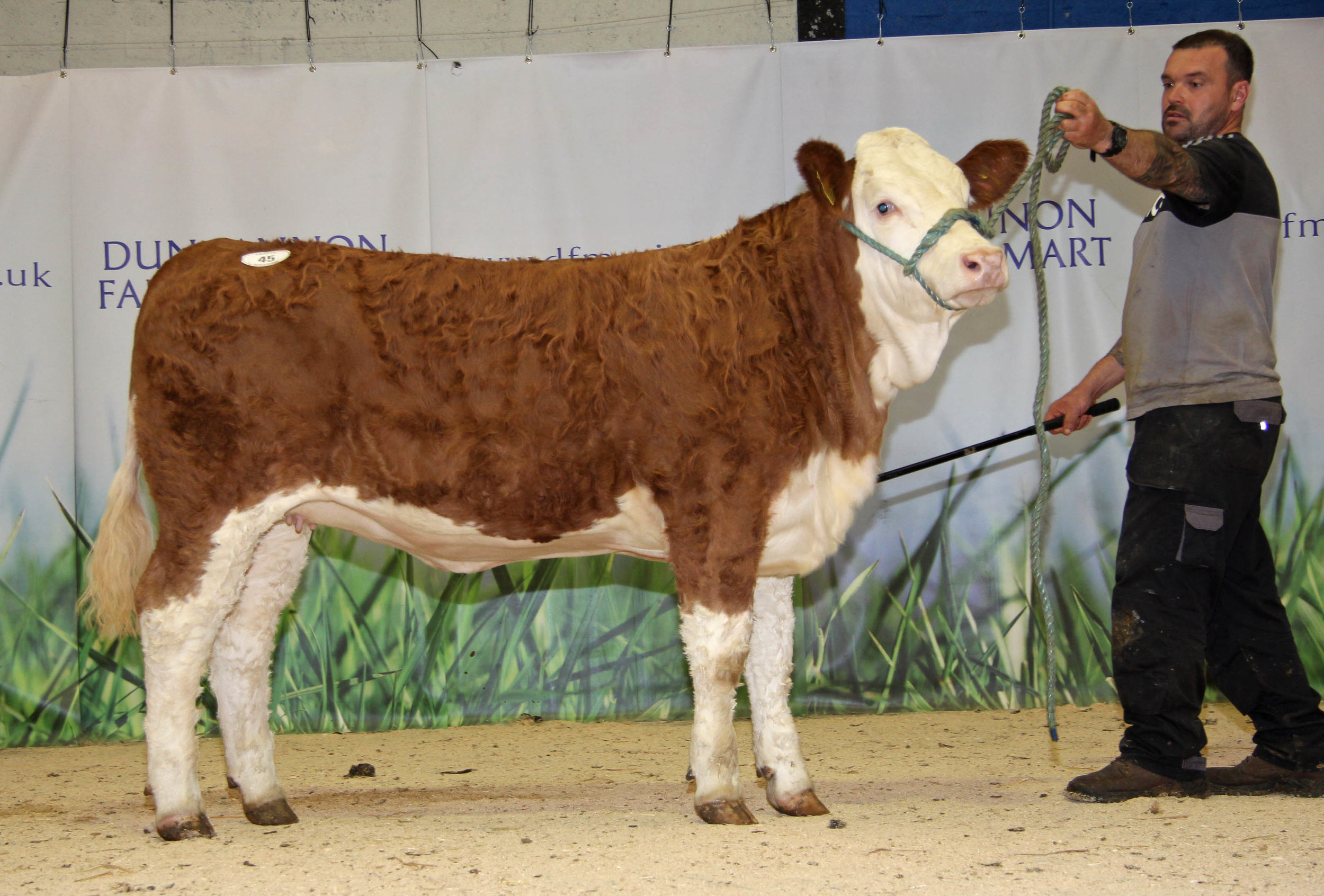 The youngest heifer in the catalogue was the six-month-old Ballinalare Farm Honey sold for 2,800gns.