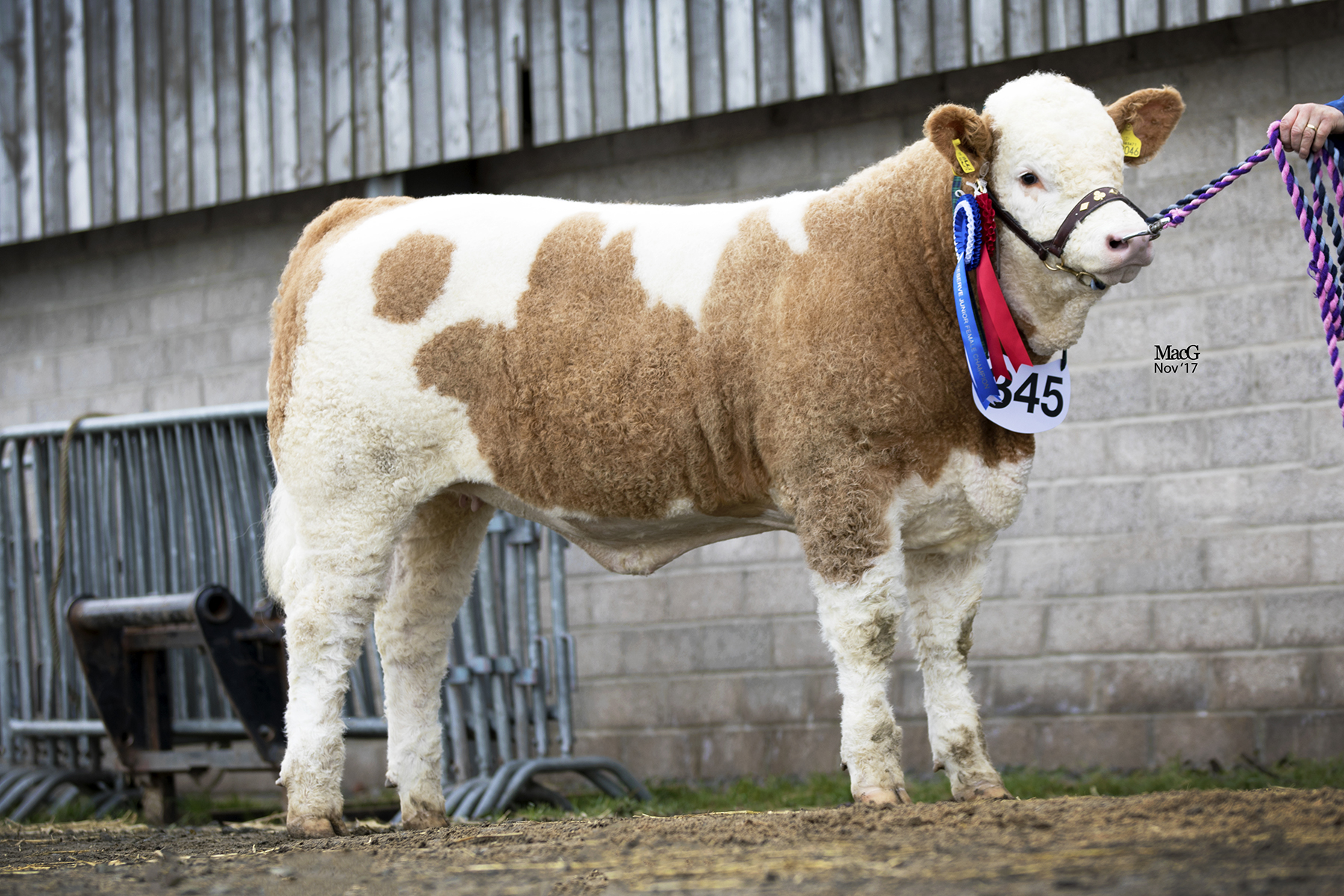 Castlewigg Empire Stella - Reserve Junior Female Champion