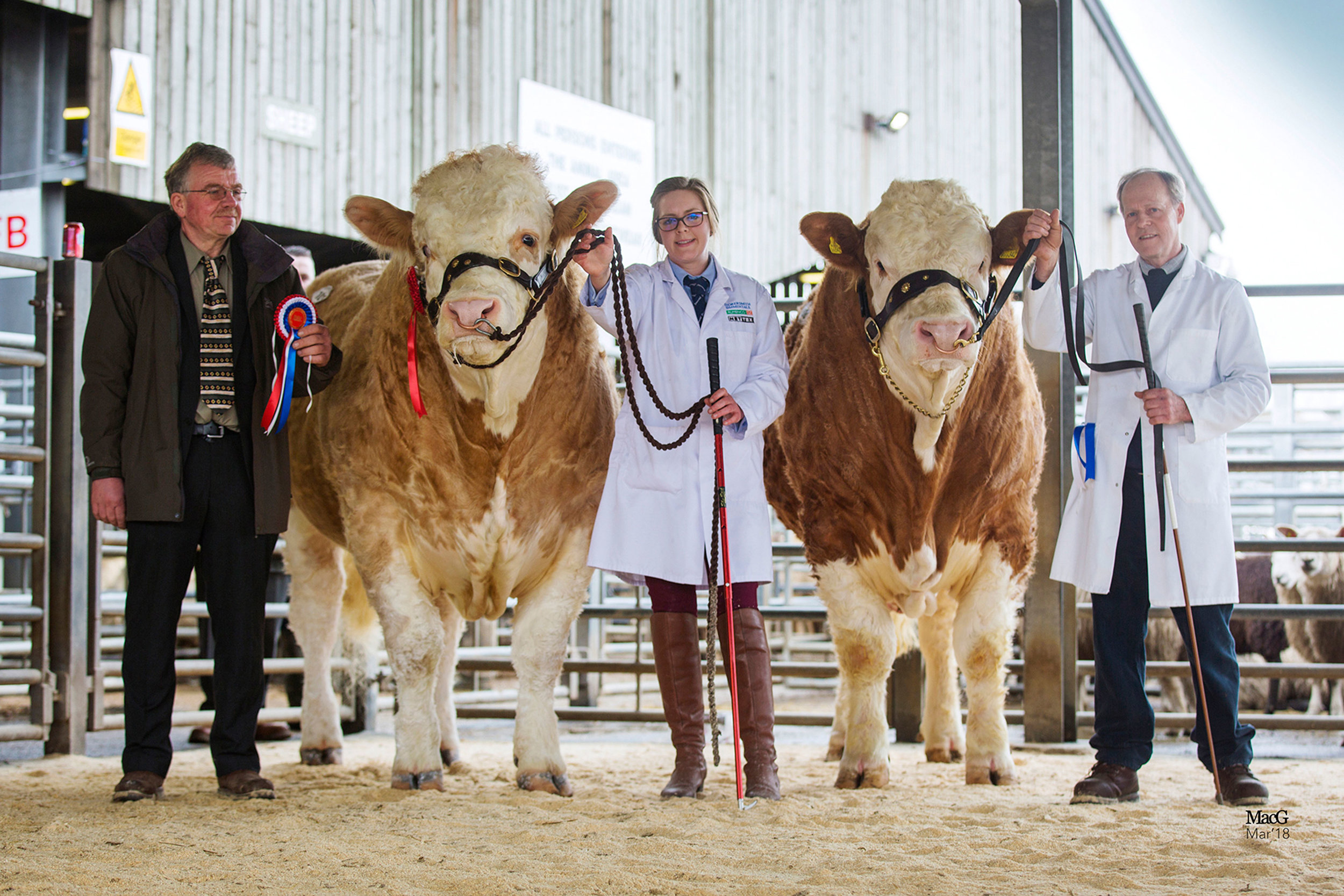Pictured on the left is the Male & Overall Champion Storersmith Heart-Throb 16 and on the right is the Reserve Male Champion Grangewood Heston 16