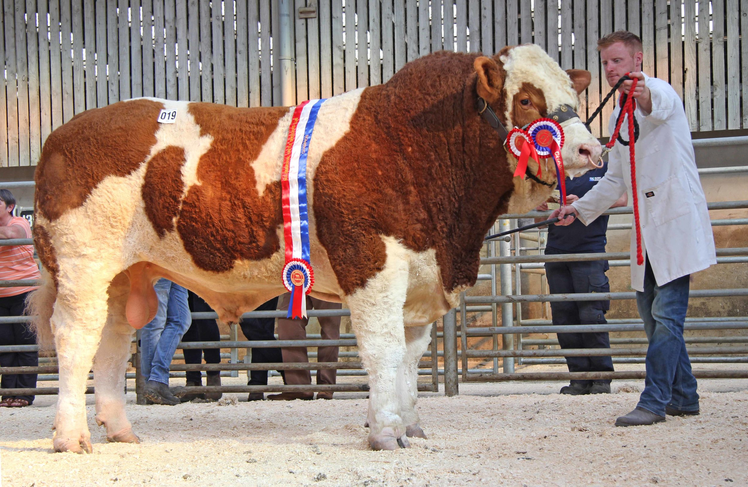 Male and supreme overall Simmental champion was Shacon Invincible bred by Brian Dooher, Donemana, and exhibited by Ritchie Devine.