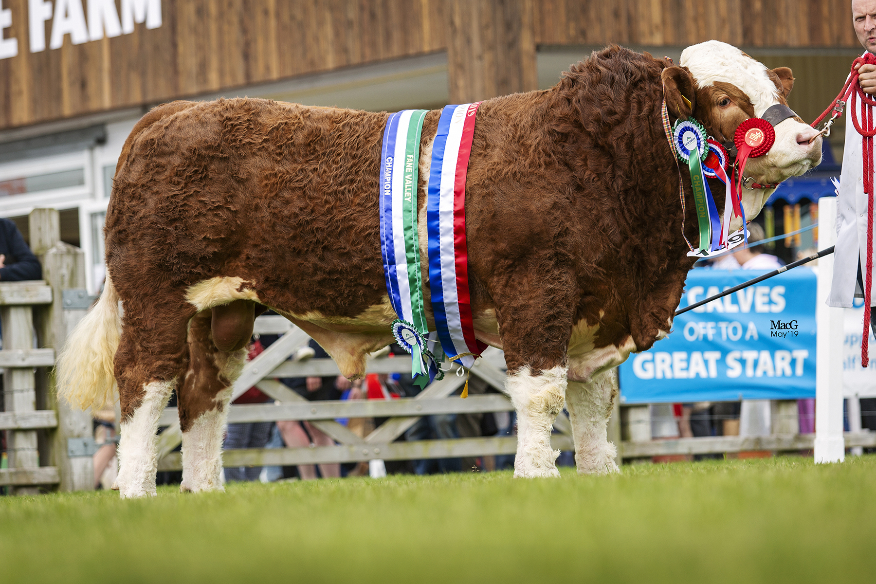 Junior Champion, Male Champion and Supreme Overall Simmental Champion at Balmoral Show was Ranfurly Jamieson from WD and JD Hazelton, Dungannon. Picture: MacGregor Photography
