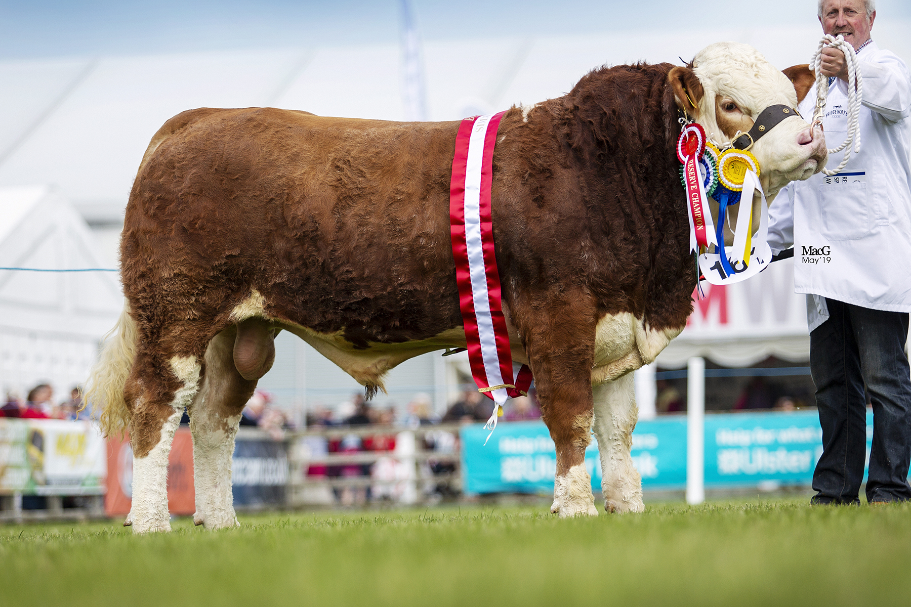 Bridgewater Farm Jed bred by Nigel Glasgow, Cookstown, was the Reserve Junior and Reserve Supreme Champion at the 151st Balmoral Show. Picture: MacGregor Photography