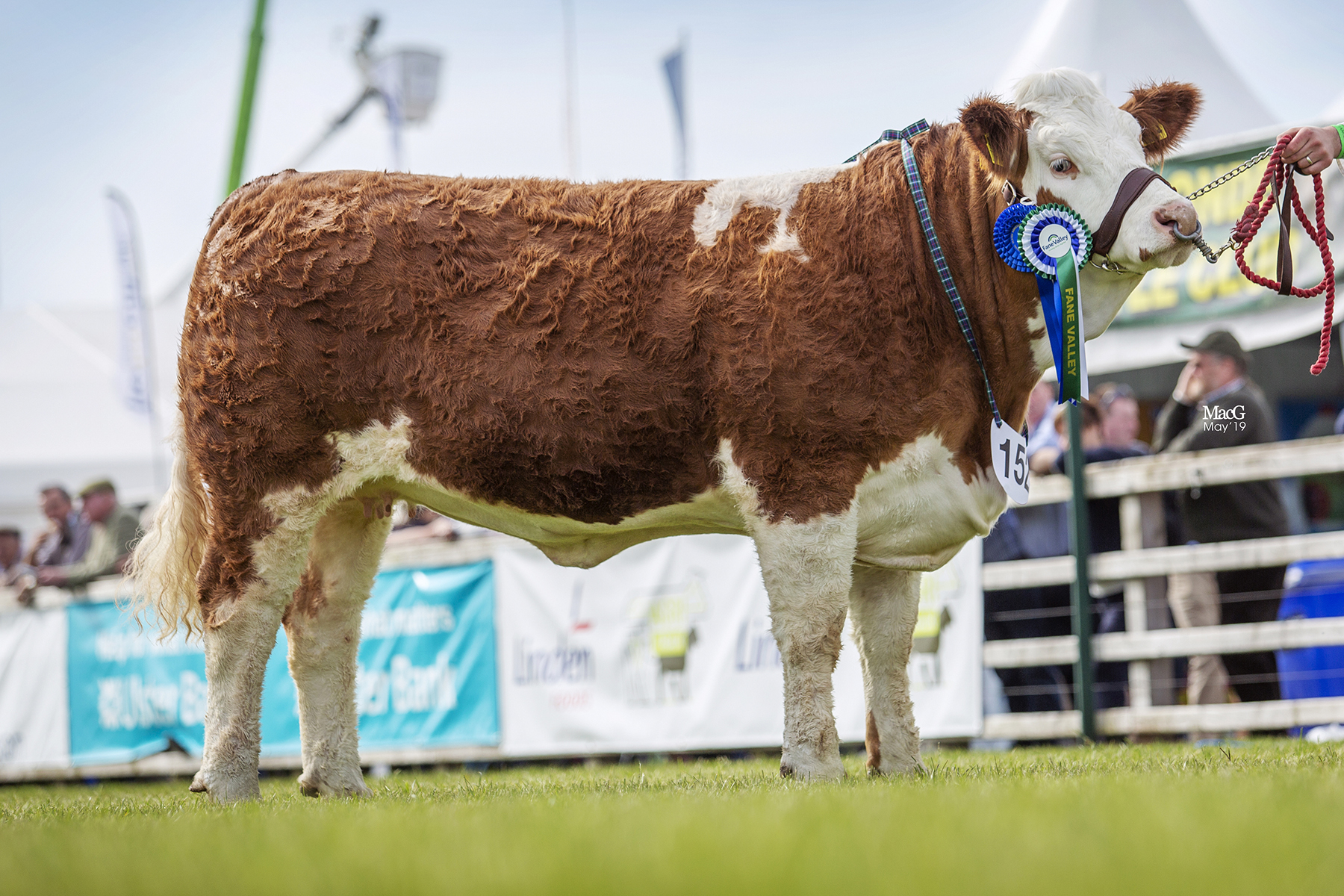 Zara Clarke, Tynan, stood second in the Intermediate Heifer Class with Breaghey Leading Lady. Picture: MacGregor Photography