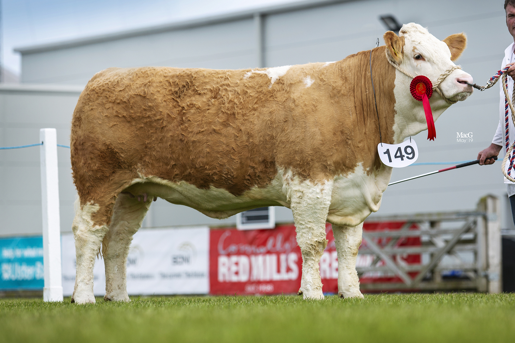 Senior Heifer Class winner was Ballinalare Farm Ivory bred by Joe Wilson, Rathfriland. Picture: MacGregor Photography