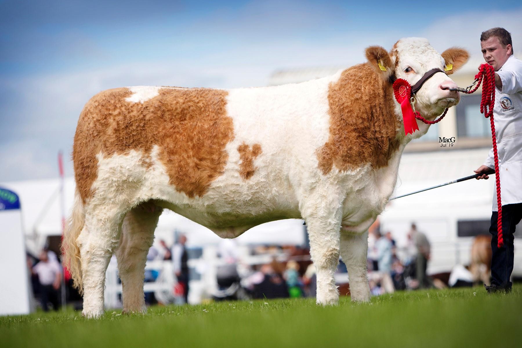 Winner of the senior heifer class was Newbiemains Intrepid exhibited by Jonathan Henderson, Desertmartin.