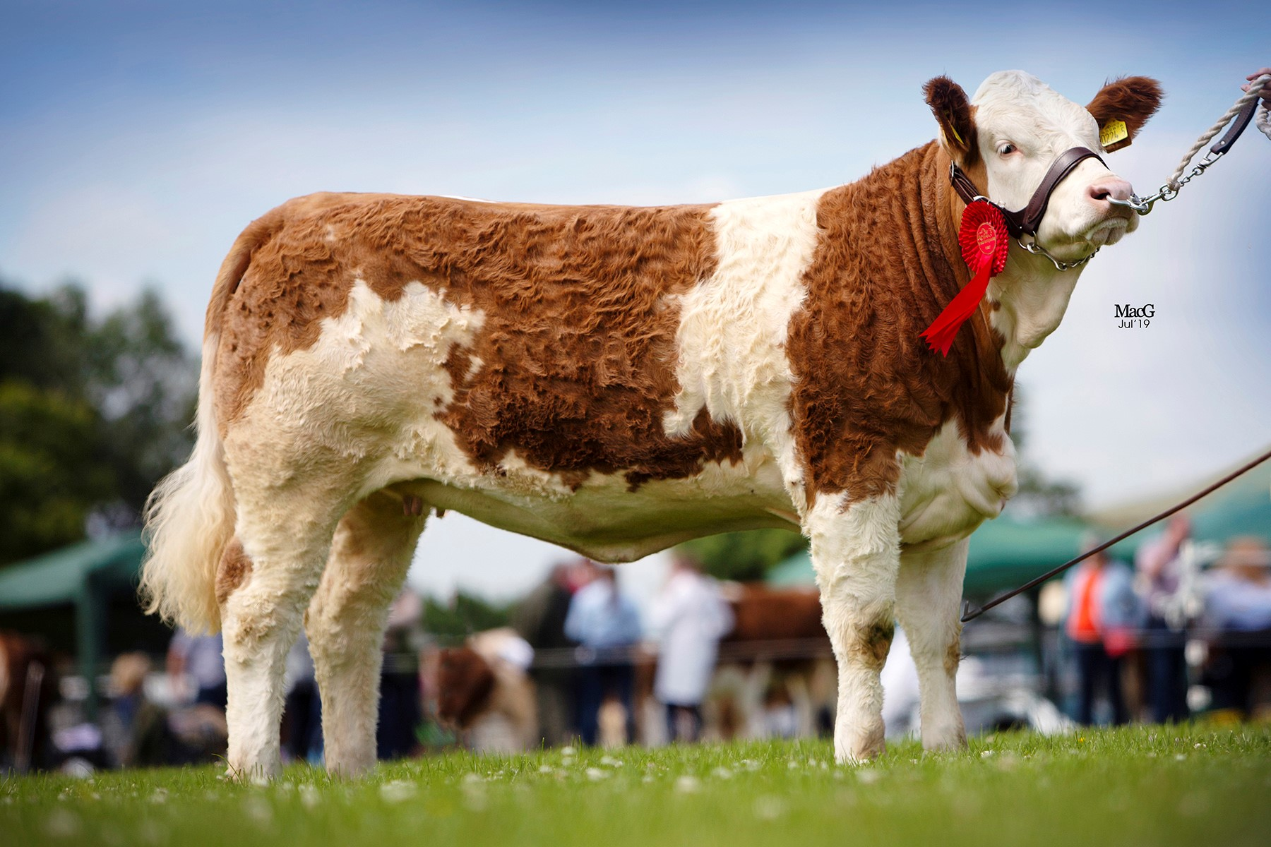Shane and Paul McDonald's Coolcran Lady Jasmine was the winner of the junior heifer class at the NI National Simmental Show, held at Omagh.