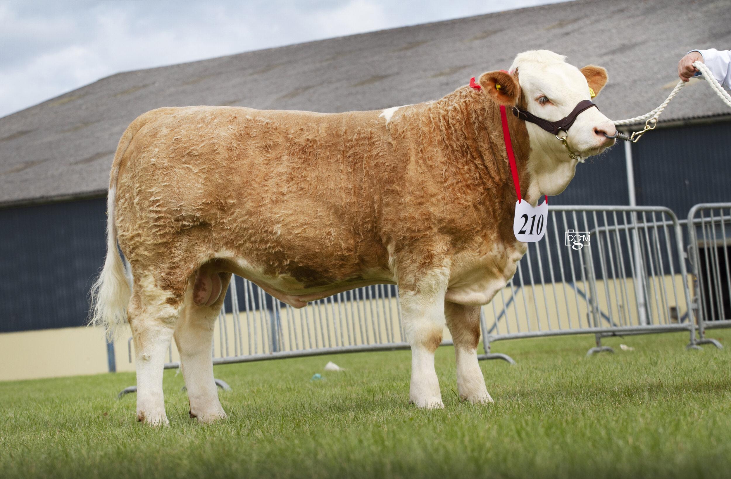 Bull-Calf-7094.jpg