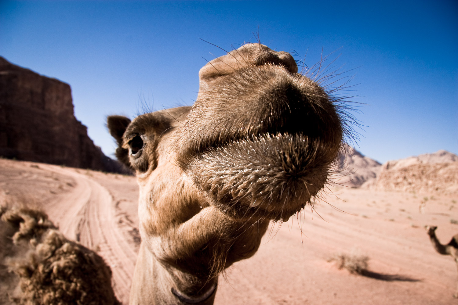 Sharing water with a camel in Wadi Rum, Jordan