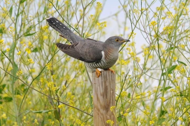 Female-cuckoo%2c-Hardley-Marshes%2c-Nick-Appleton%2c-5-June-2014-(Small).jpg