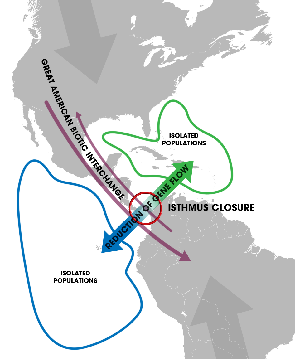 Isthmus_of_Panama_(closure)_-_Speciation_of_marine_organisms_(w_annot).png