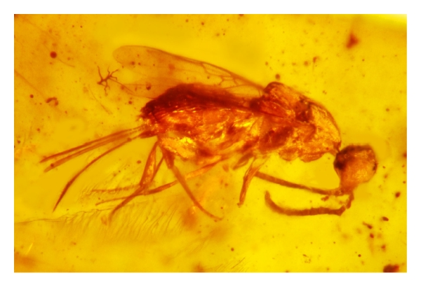 Early_Cretaceous_Myanmar_amber_braconid_wasp-08.jpg