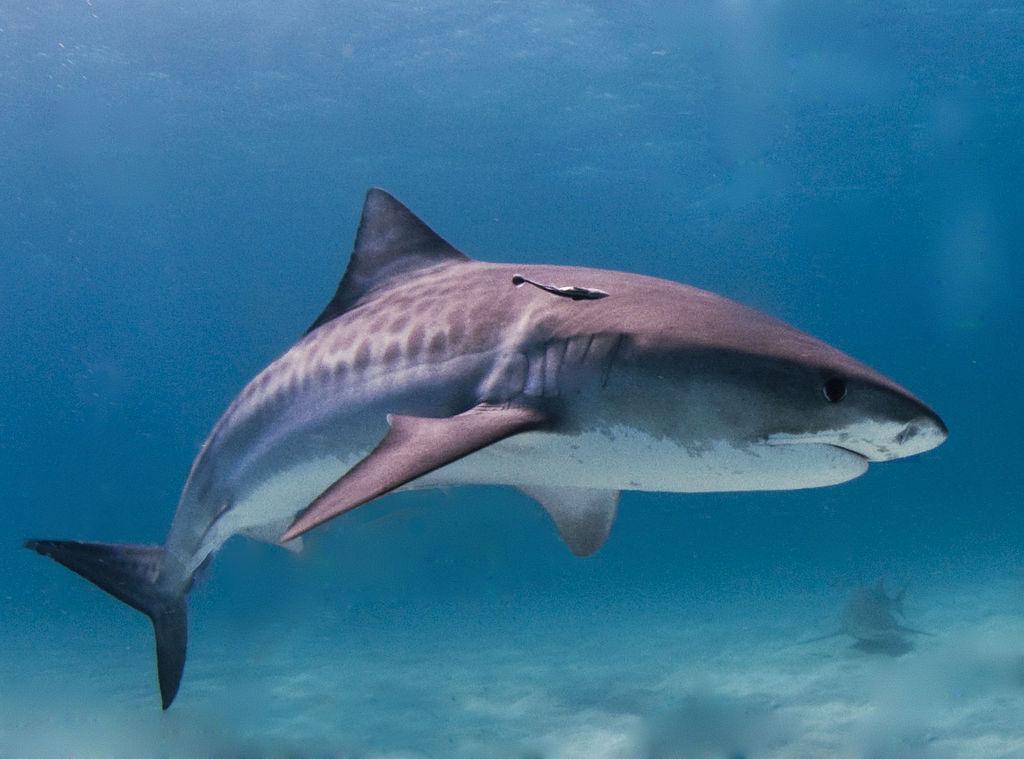 1024px-Tiger_shark.jpg
