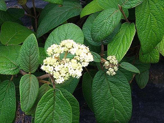 Viburnum_rhytidophylloides_Alleghany_Leaves_Flower.jpg