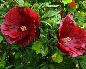 hibiscus-cranberry-crush-flowers-wilway.jpg