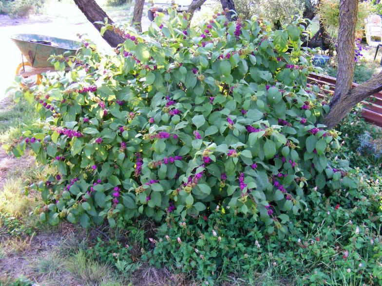 Beautyberry_-_September_2007__2_.JPG