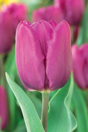 tulip-purpleprince.jpg