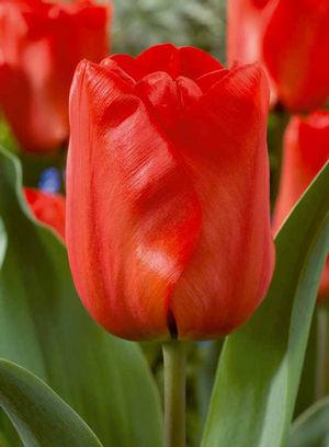 tulip-redimpression.jpg