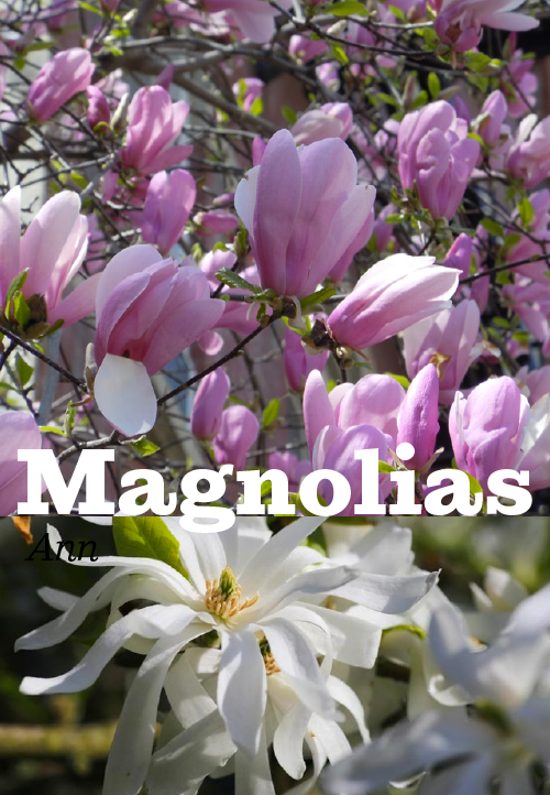 magnolias_email.png