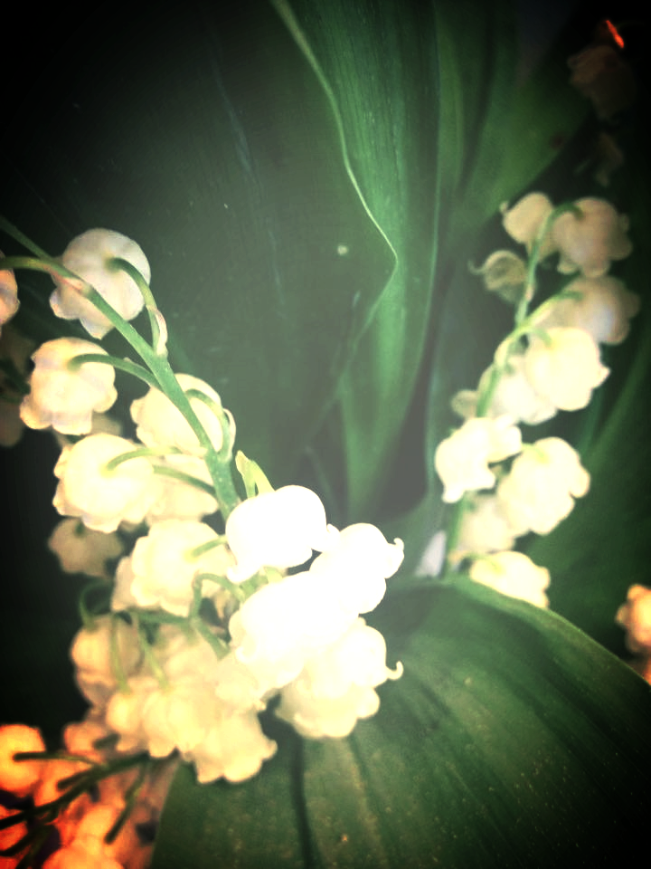 This fragrant Lily of the Valley blooms right under my daughters window on her birthday.