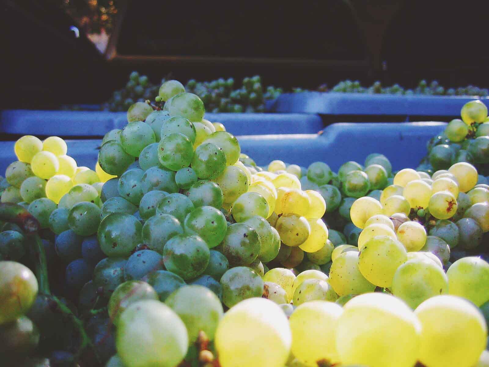 chardonnay-grapes-close-up-web.jpg