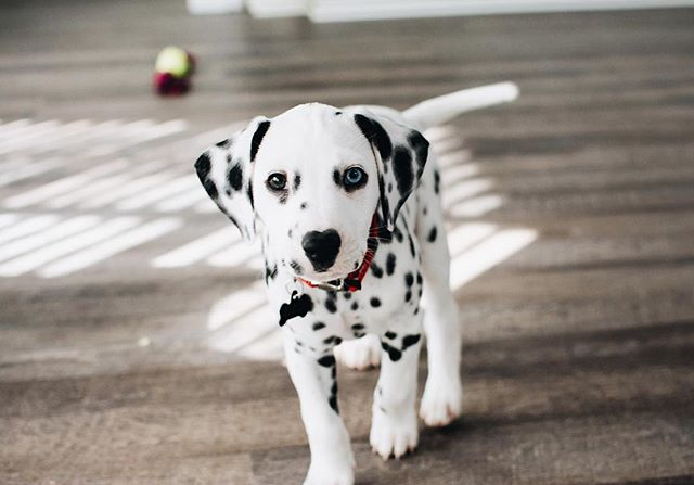 love of my life 🐾♥️ || #oakleythepup #ihavethebestfianceintheworld #dalmatian