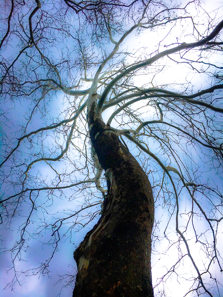 Sycamore Tree Woman