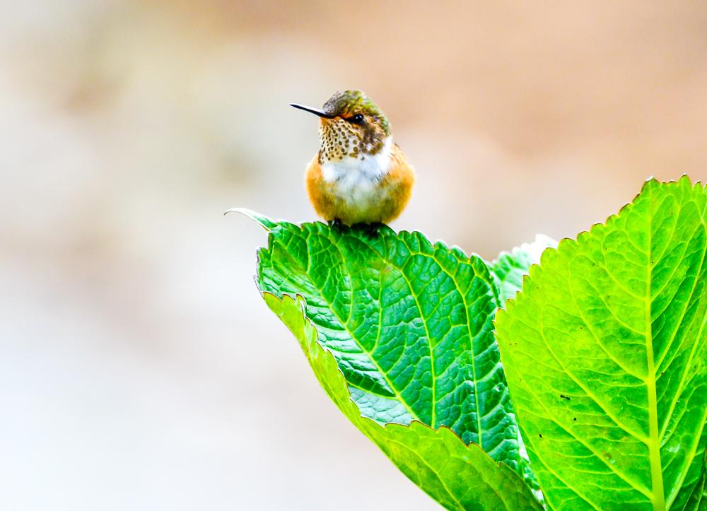 Volcano Humingbird
