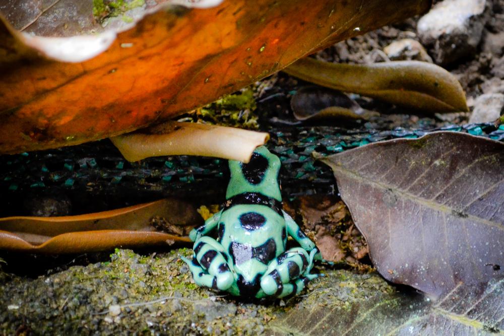 frog green dart web_DSC0298-2.jpg