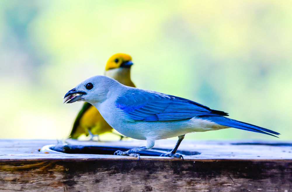 Tanager Gathering