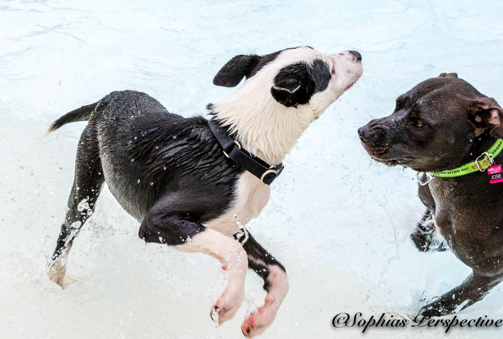 black white and black little dogs.jpg