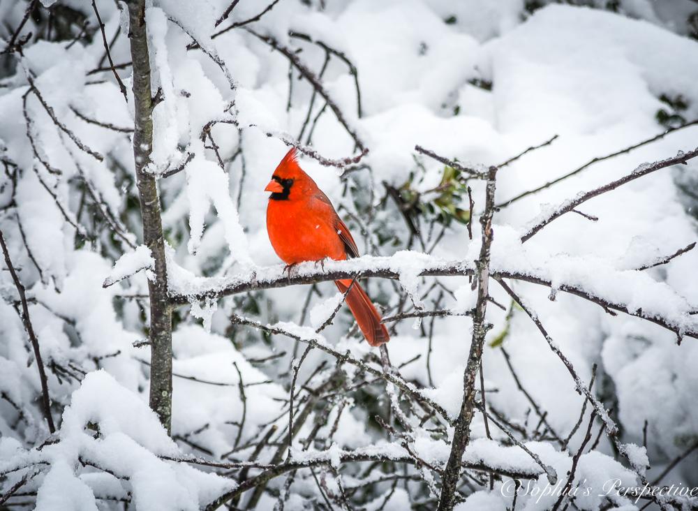 cardinal snow.jpg
