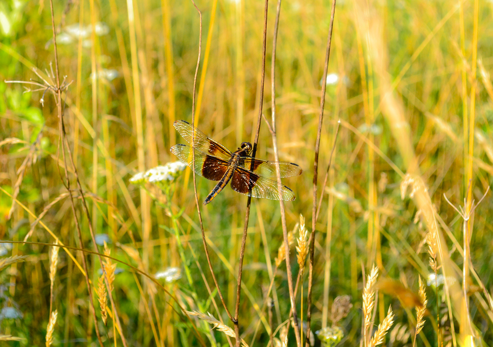 dragonfly field hawk ivy web.jpg