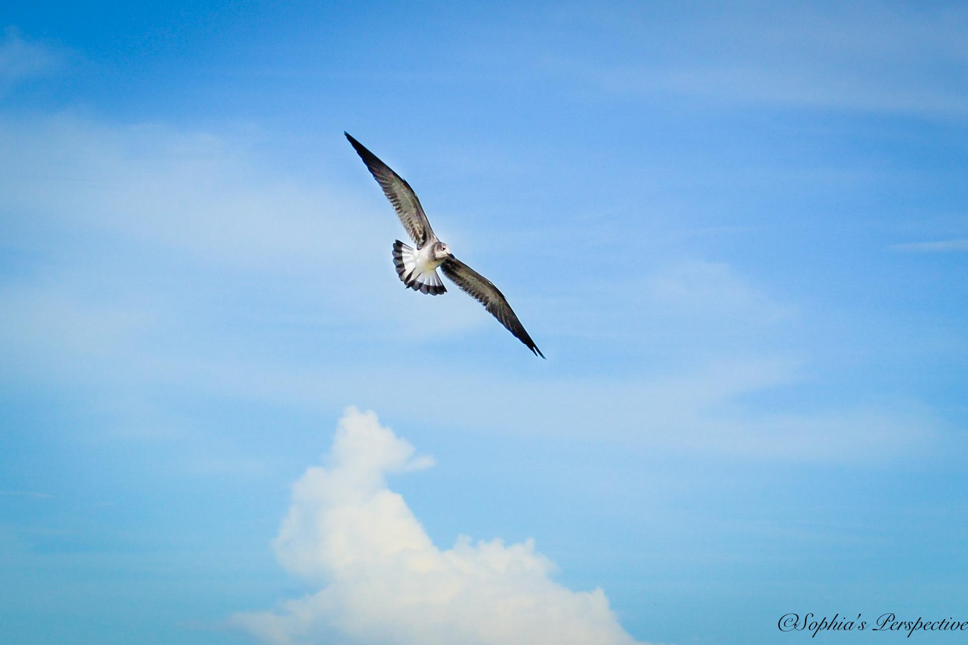 seagul fly.jpg