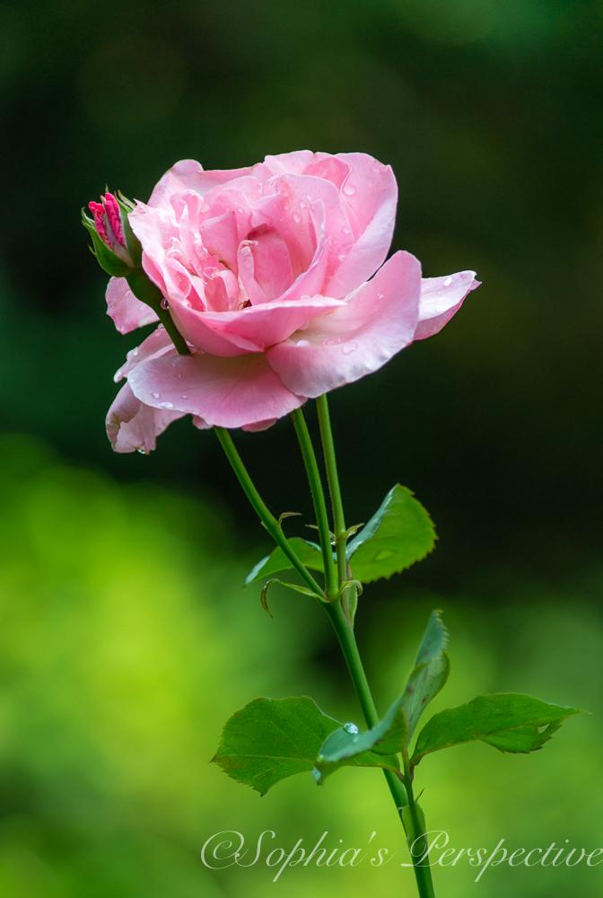 rose p.jpg