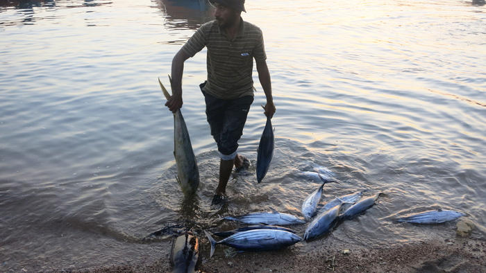 Fish are caught using the traditional method of dropped weighted lines, not nets.