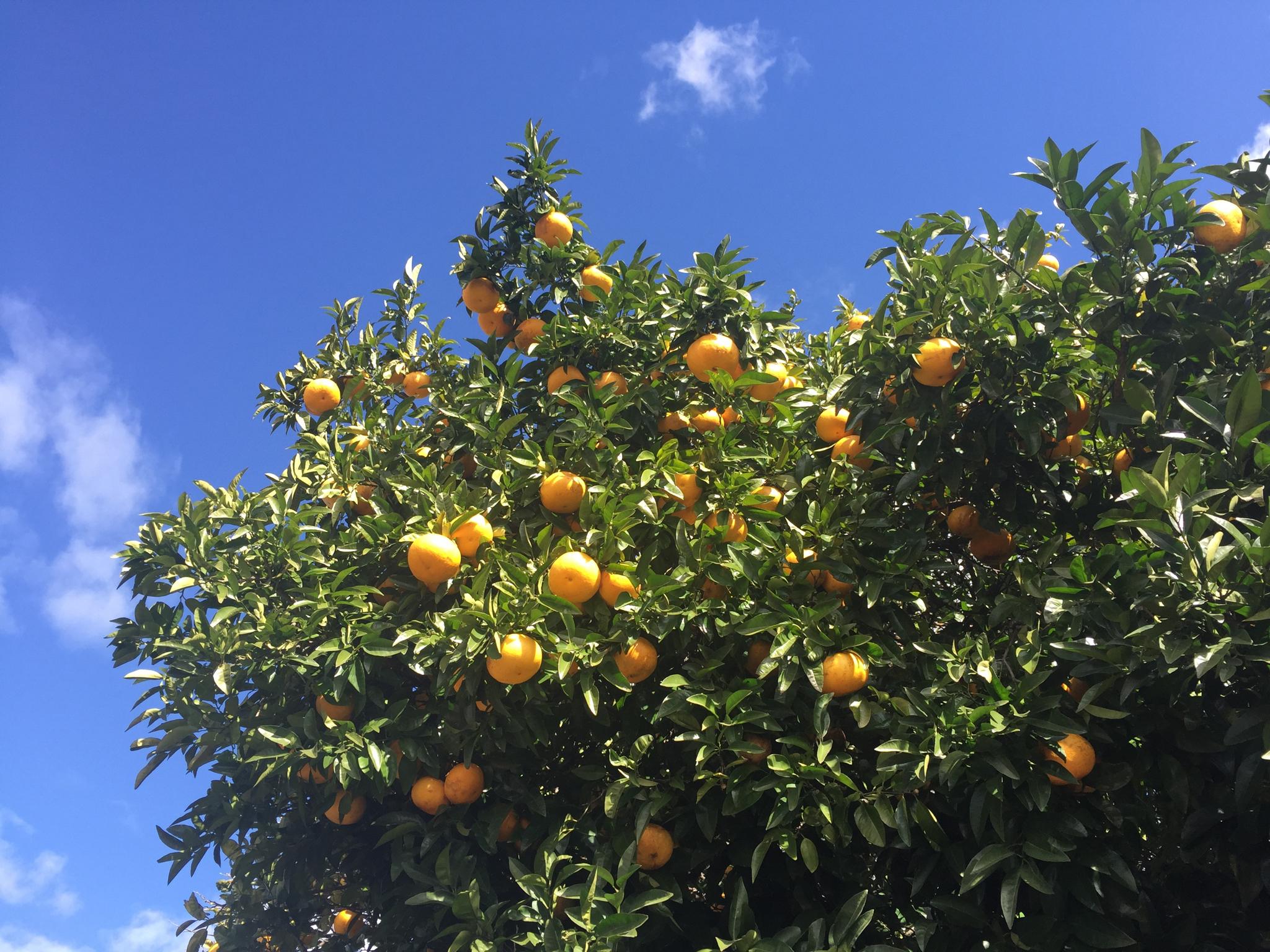 Citrus in Paeroa
