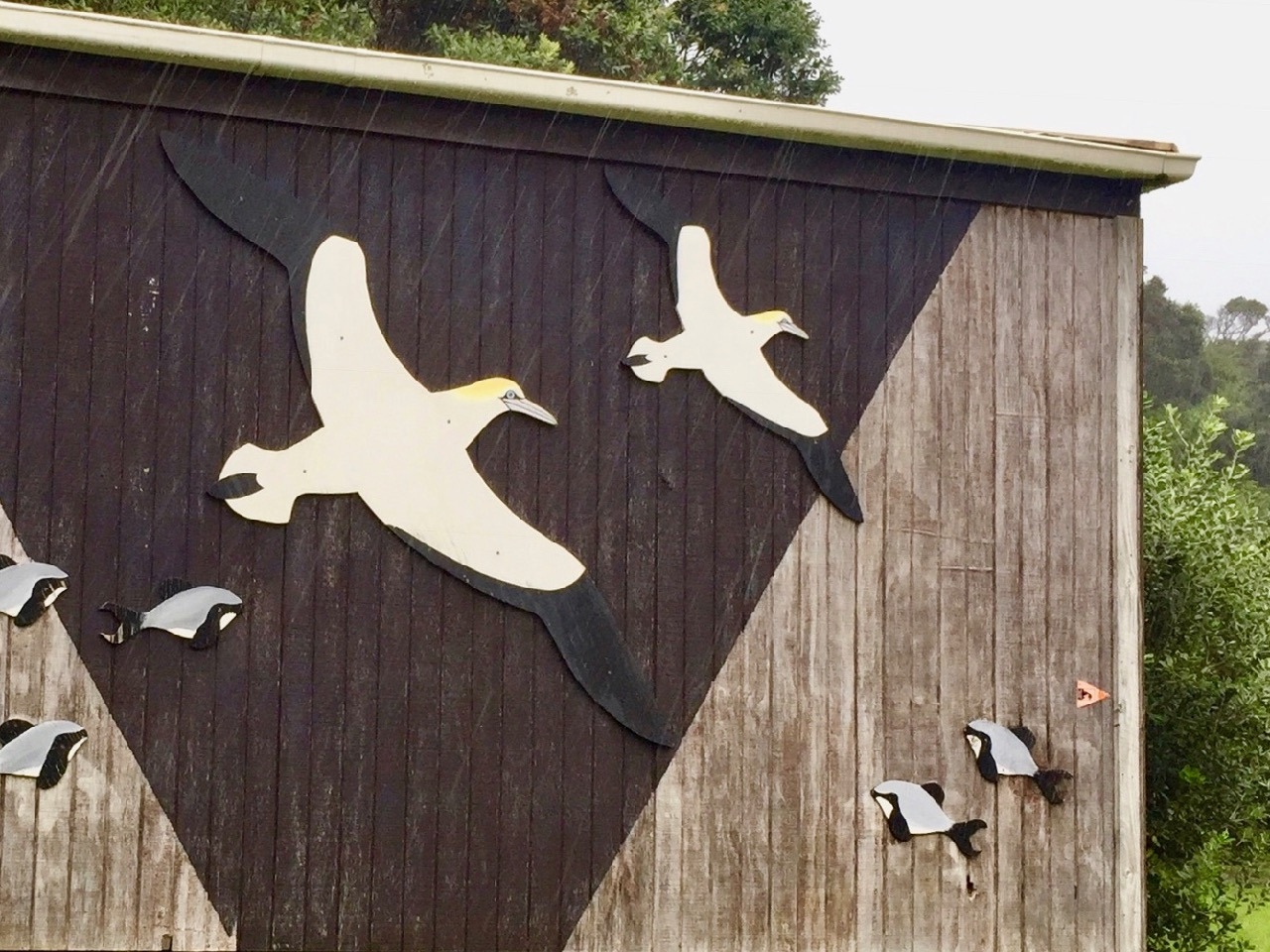 Muriwai gannets