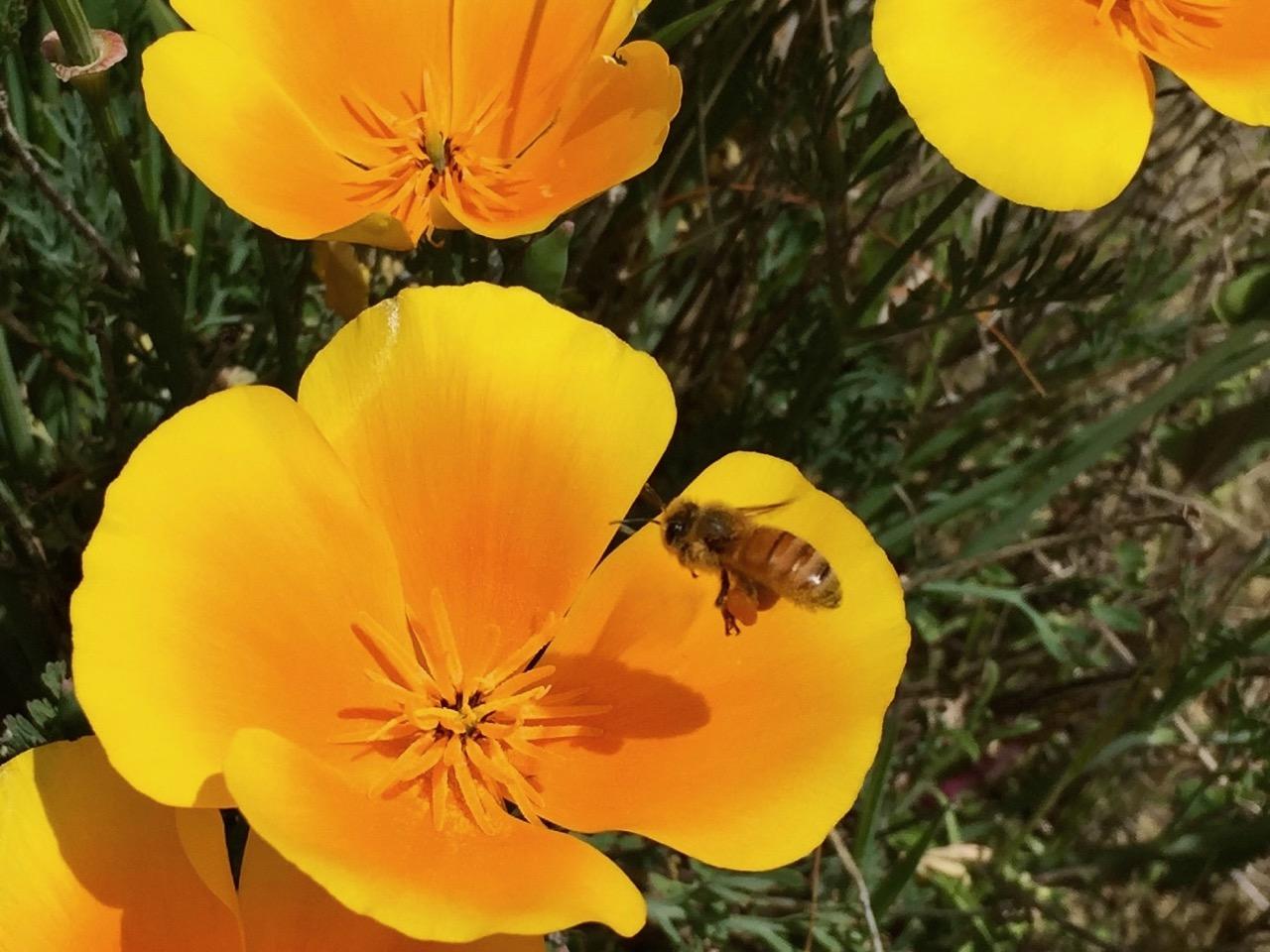 bee yellow flower bannockburn