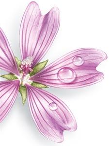 Mallow flower.jpg
